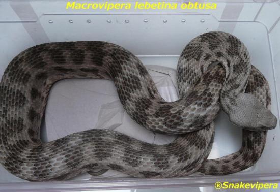 macrovipera-lebetina-obtusa-2.jpg
