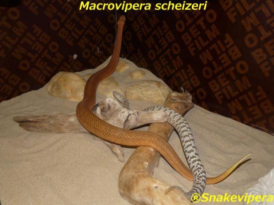 macrovipera-scheizeri-8-1.jpg