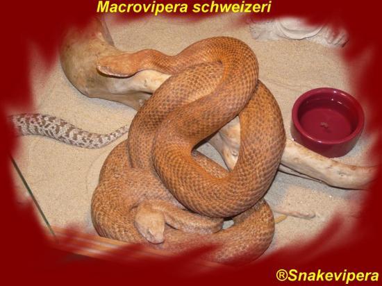macrovipera-schweizeri-4.jpg