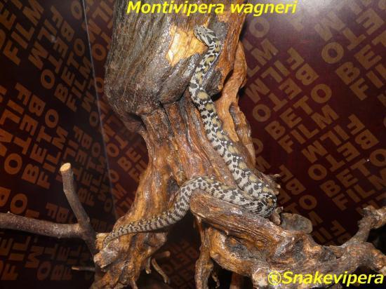 montivipera-wagneri-9.jpg