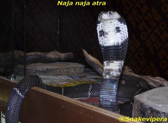 naja-atra-5-1.jpg