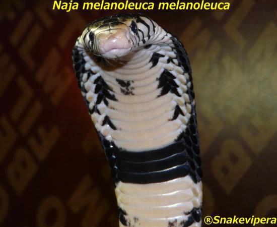 naja-melanoleuca-9-1.jpg