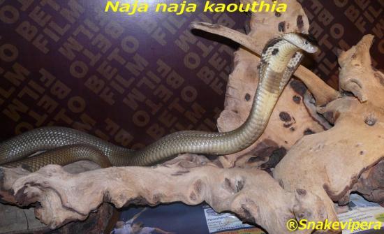 naja-naja-kaouthia-1.jpg