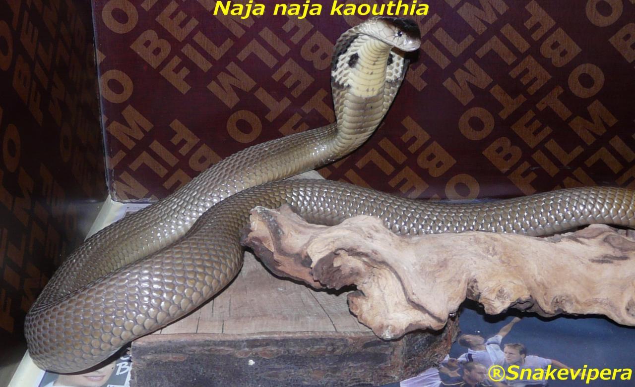 ElapidésNaja Kaouthia