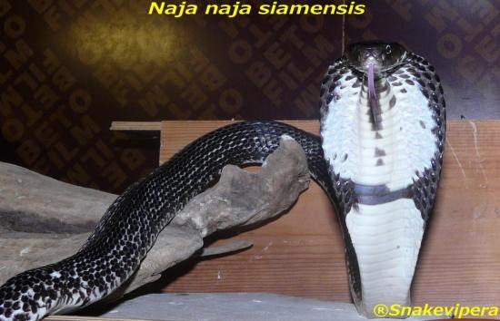 naja-siamensis-4.jpg