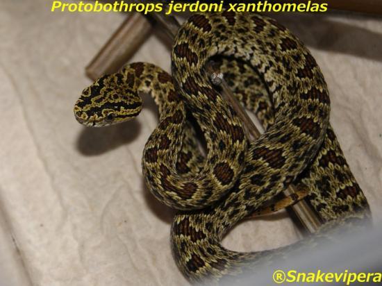 protobothrops-jerdoni-xanthomelas-8.jpg