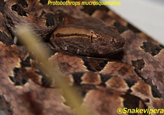 protobothrops-mucrosquamatus-11.jpg