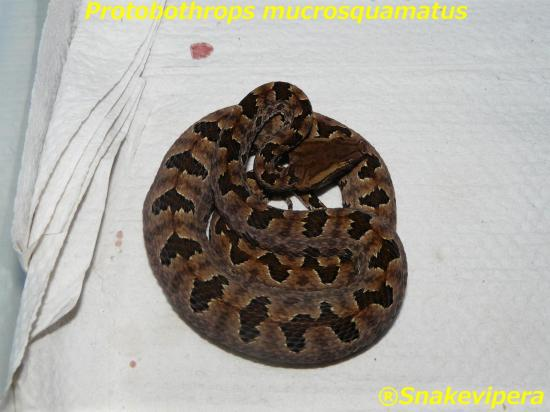 protobothrops-mucrosquamatus-5.jpg