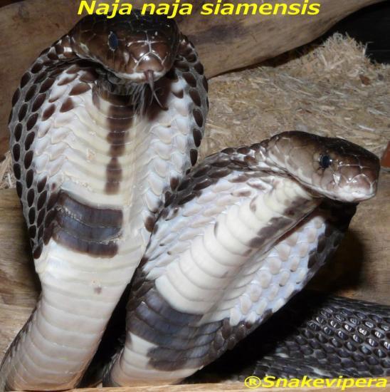 siamensis-4.jpg