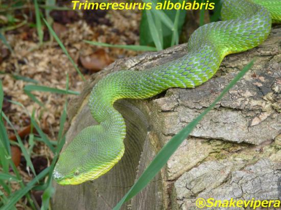 trimeresurus-albolabris-1.jpg