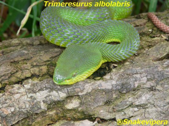 trimeresurus-albolabris-7.jpg