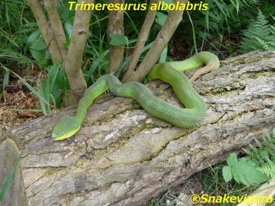 trimeresurus-albolarbris-1.jpg