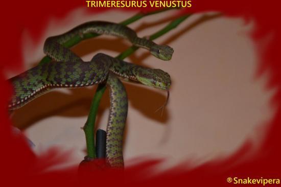 Trimeresurus venustus 13