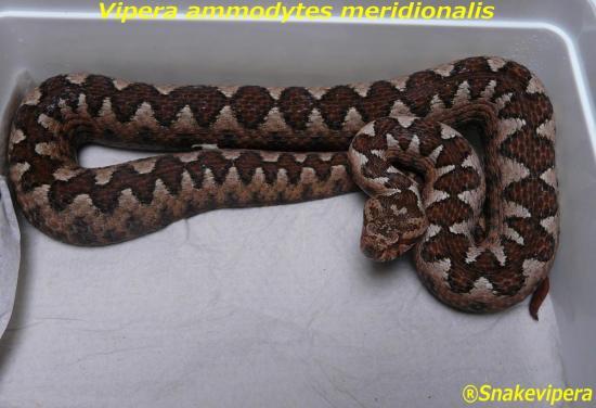 vipera-ammodytes-meridionalis-1.jpg