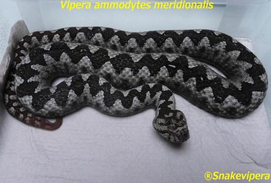 vipera-ammodytes-meridionalis.jpg